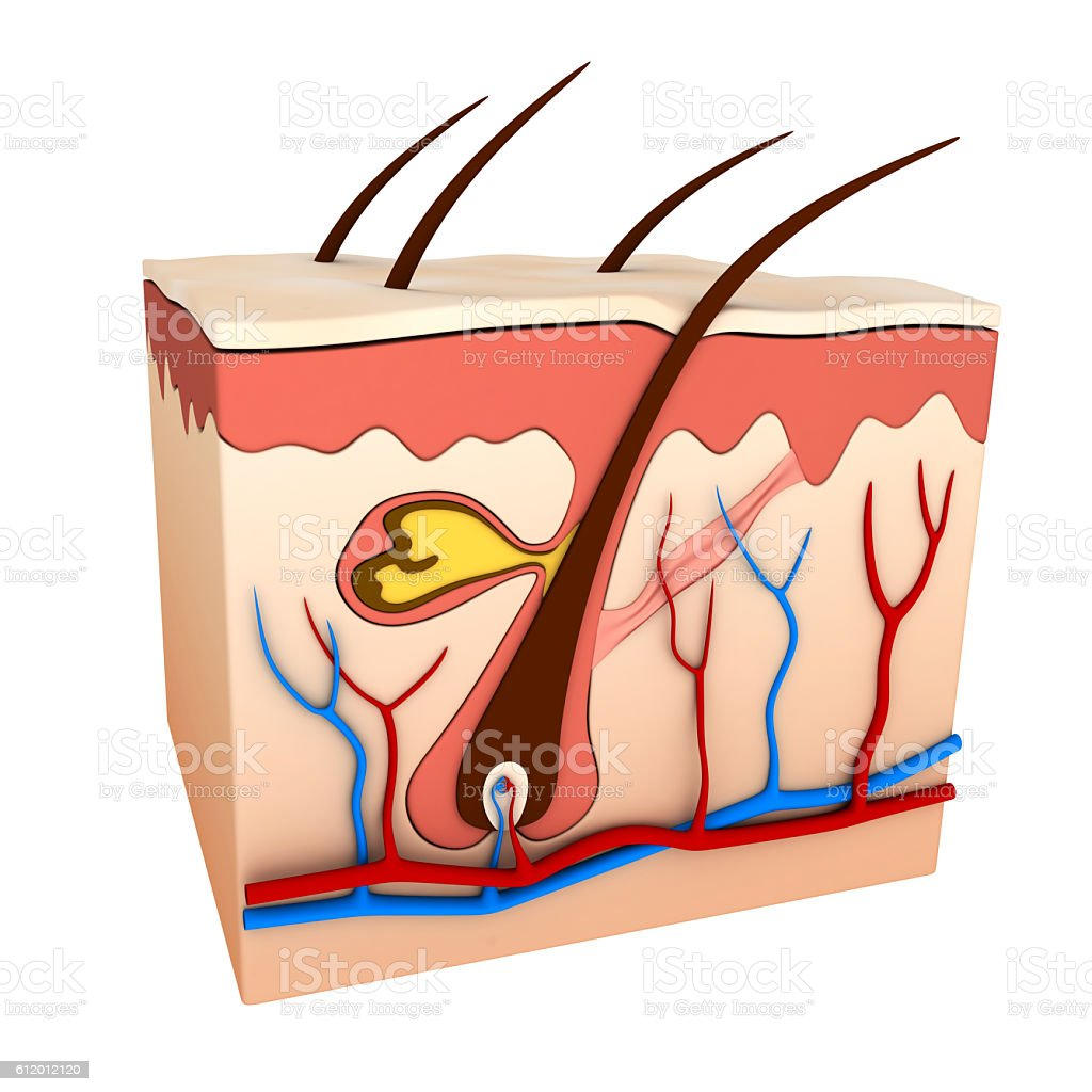 Hair follicle stock photo
