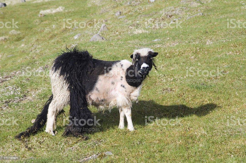 Hair loss sheep Faroe Islands stock photo