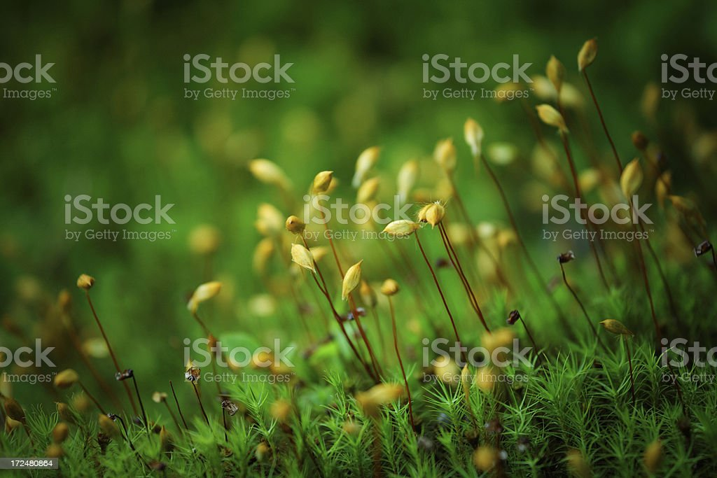 haircap moss royalty-free stock photo