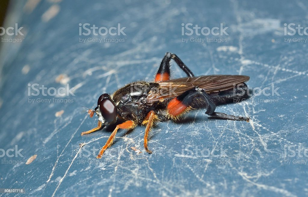 Haired fly stock photo