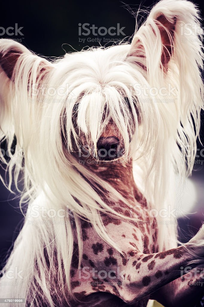 Hairless Chinese crested dog portrait stock photo