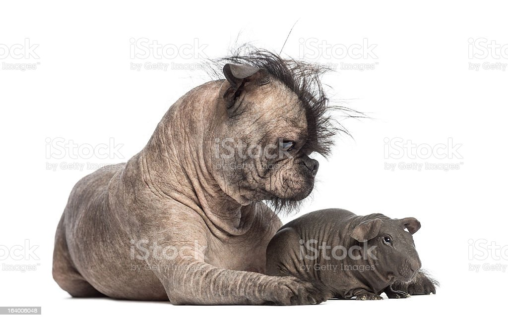 Hairless Mixed-breed dog lying with a guinea pig stock photo