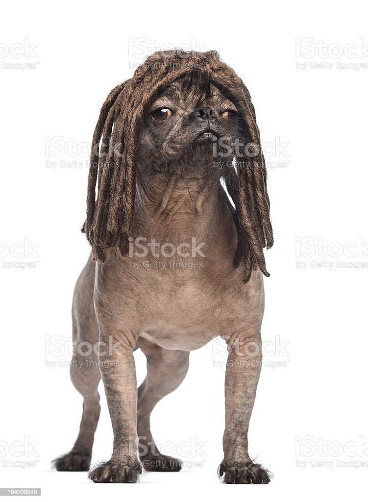 Hairless Mixed-breed dog standing and wearing a dreadlocks wig royalty-free stock photo