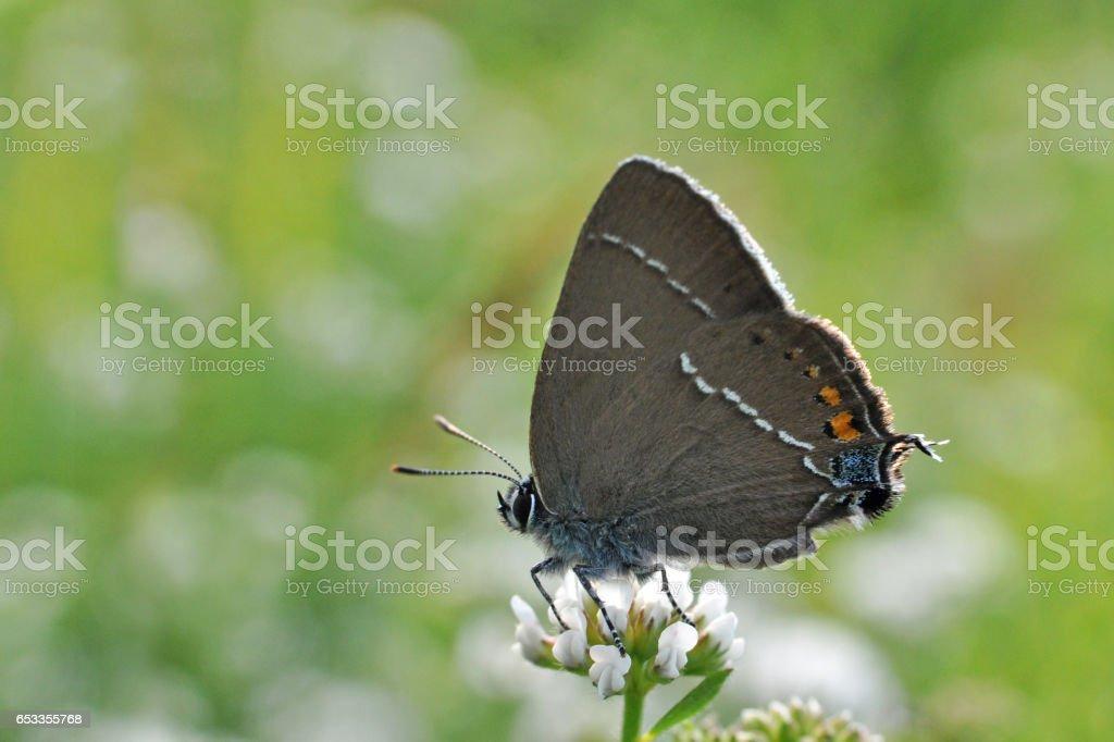 Hairstreak butterfly stock photo