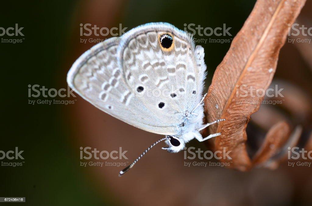 Hairstreak butterfly resting on dry fern leaf stock photo