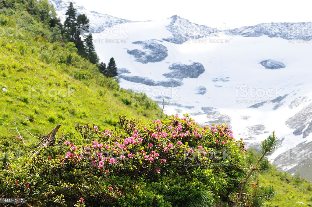 behaarte Alpenrose (rhododendron hirsutum) stock photo
