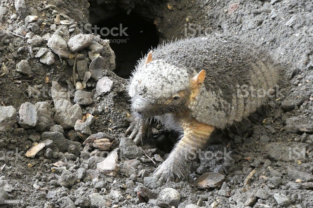 Hairy Armadillo (Chaetophractus) stock photo