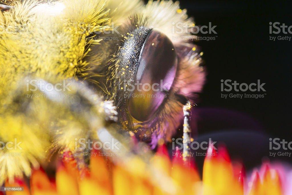 Hairy bee head and eye on yellow orange flower stock photo
