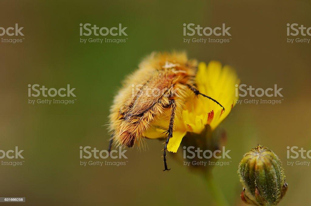 Hairy beetle stock photo
