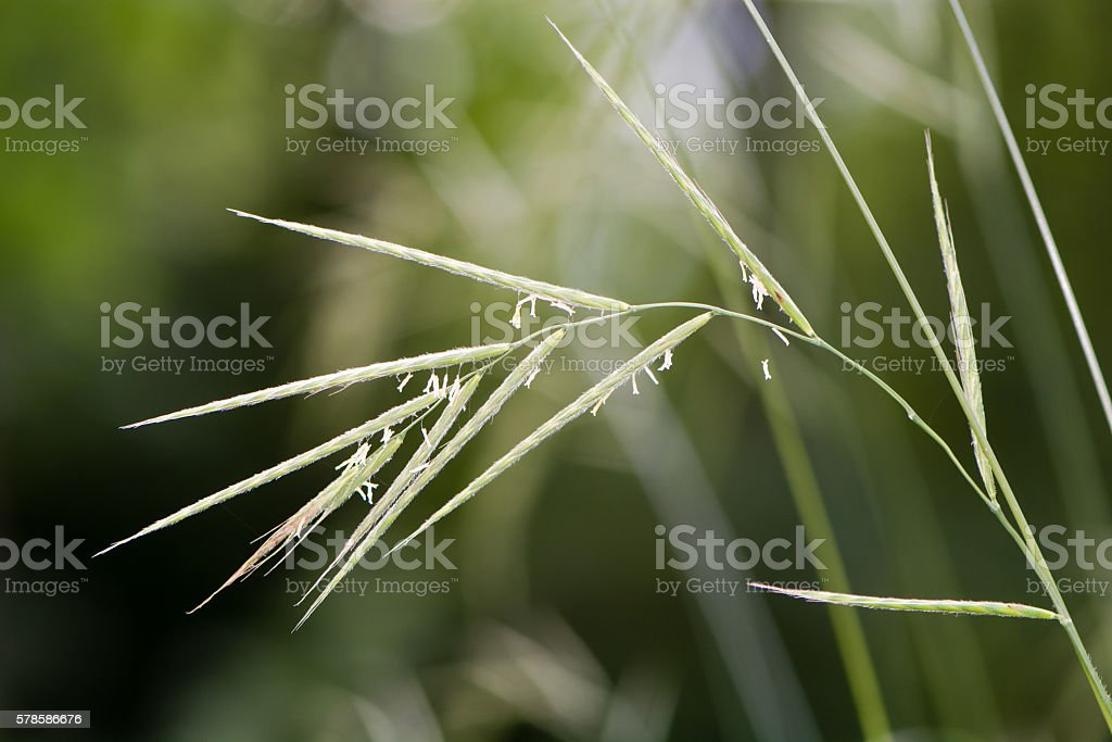 Hairy brome (Bromopsis ramosa) grass in flower stock photo