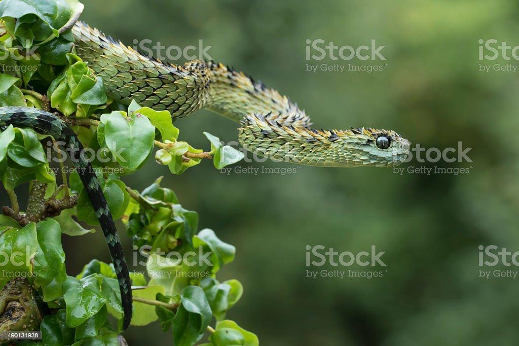 Hairy Bush Viper in Rainforest - Venomous Snake stock photo