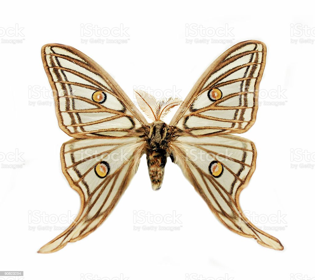 Hairy butterfly royalty-free stock photo