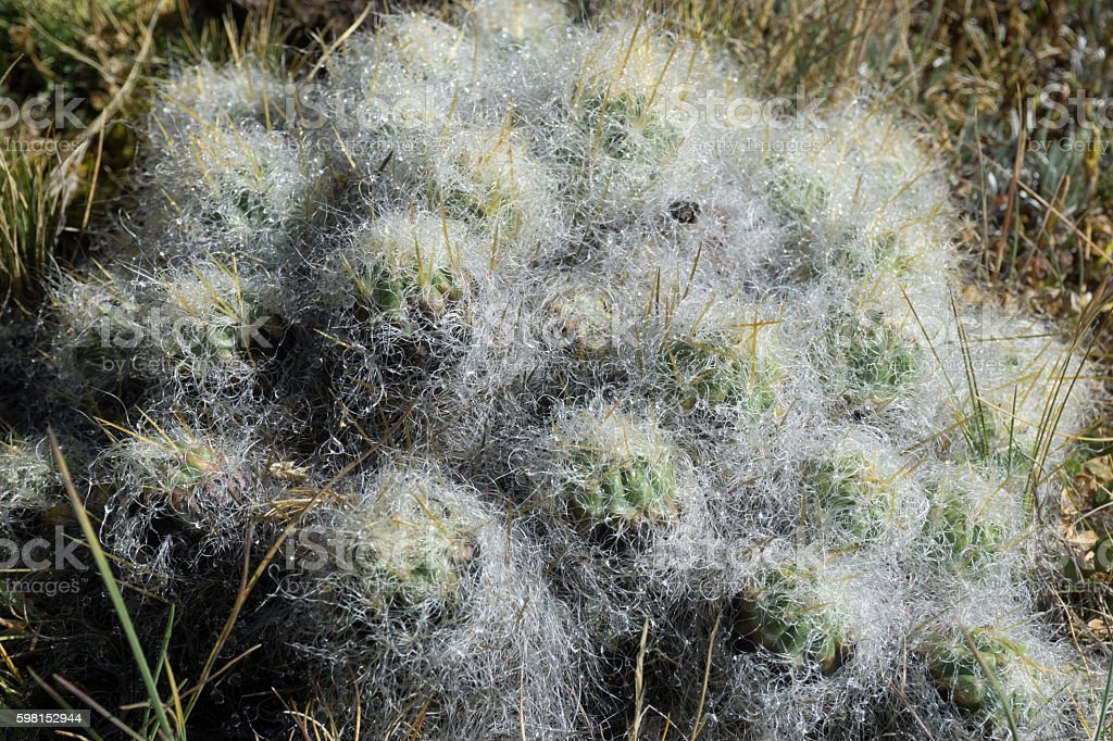 hairy cactus stock photo