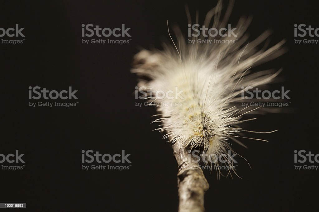 Hairy Caterpillar on Black Background royalty-free stock photo