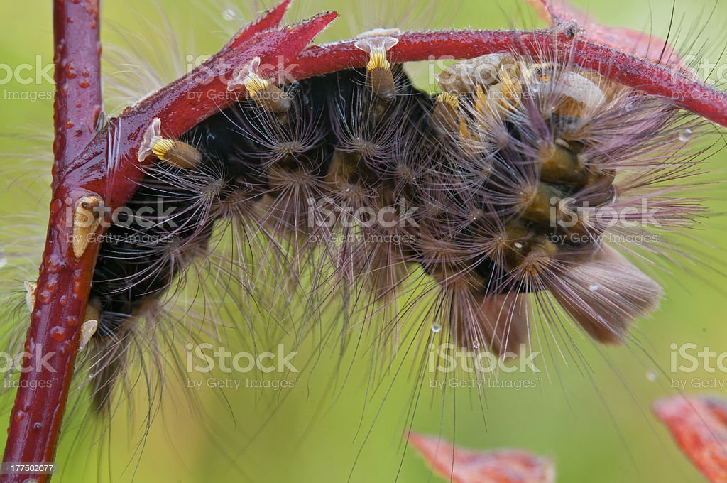 Hairy caterpillar. royalty-free stock photo