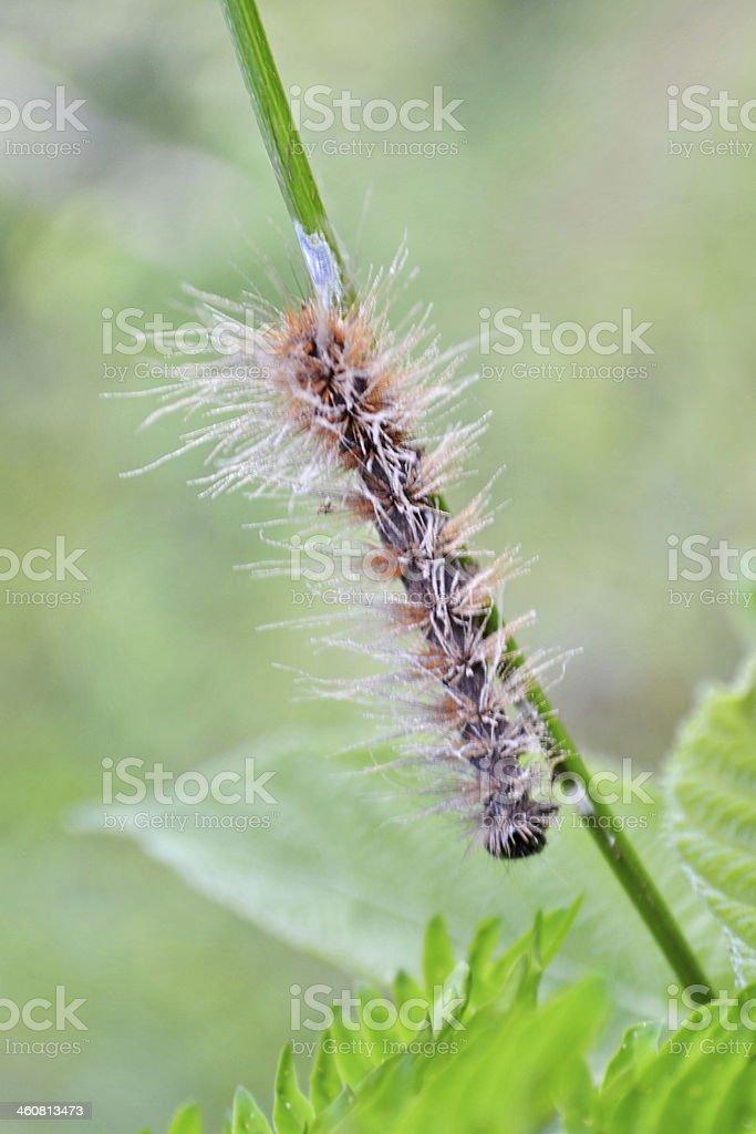 Hairy caterpillar. stock photo