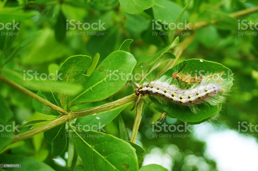 hairy caterpillars hold on green leaf on a tree stock photo
