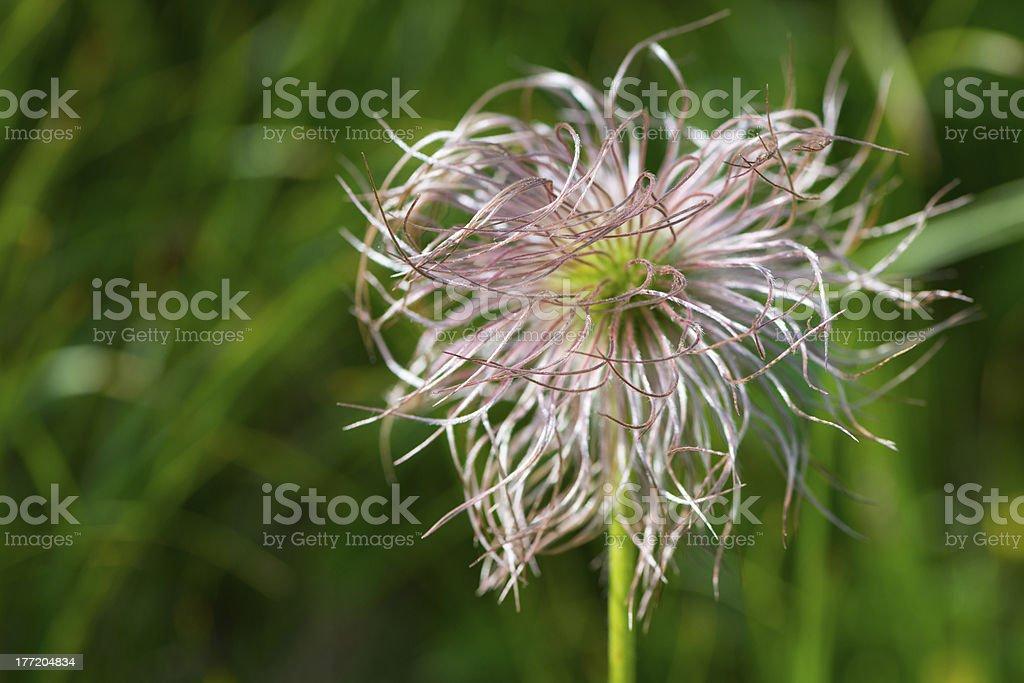 Hairy centaurea flower with green background stock photo