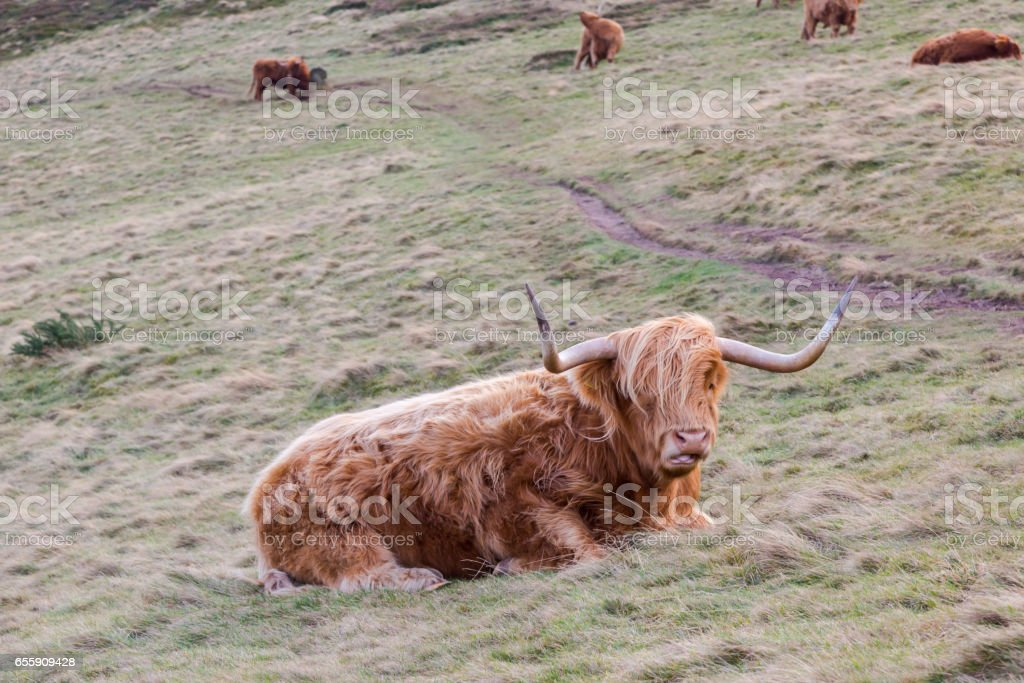 Hairy cow in Scottish highlands stock photo