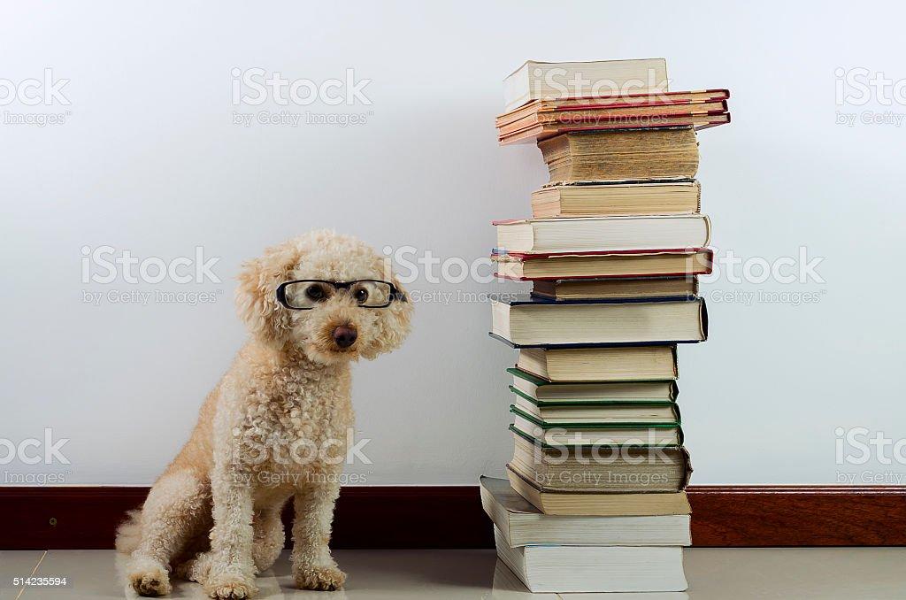 Hairy dog wearing glasses, beside books. stock photo