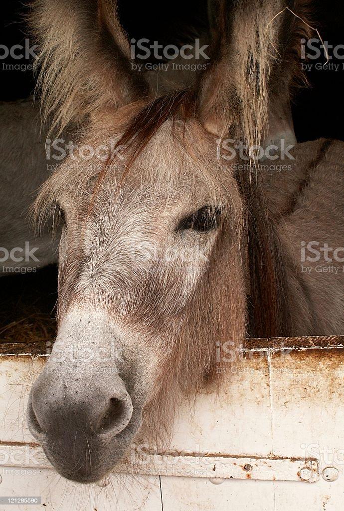 hairy donkey royalty-free stock photo