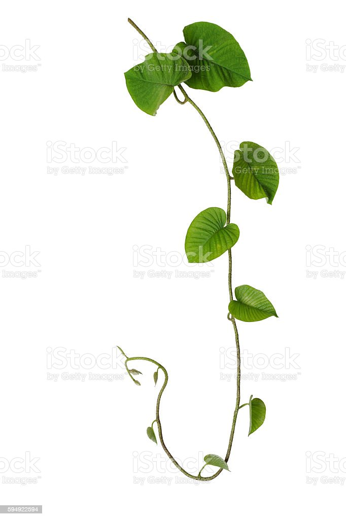 Hairy green leaves wild vine isolated on white background, tropi stock photo