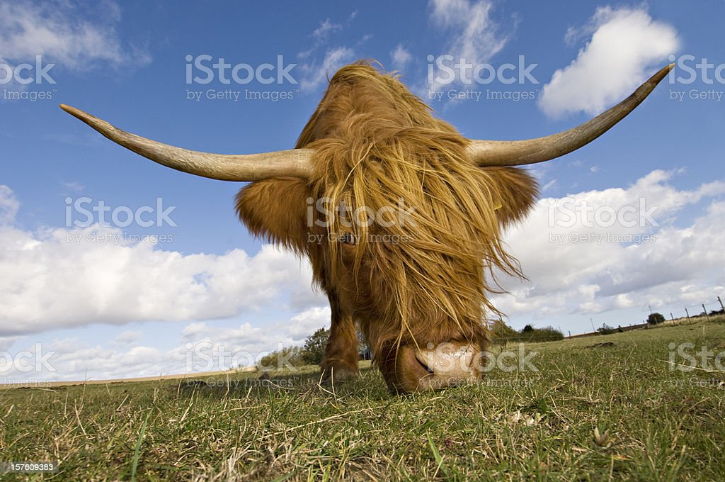 Hairy, horned, highland cow grazing  royalty-free stock photo