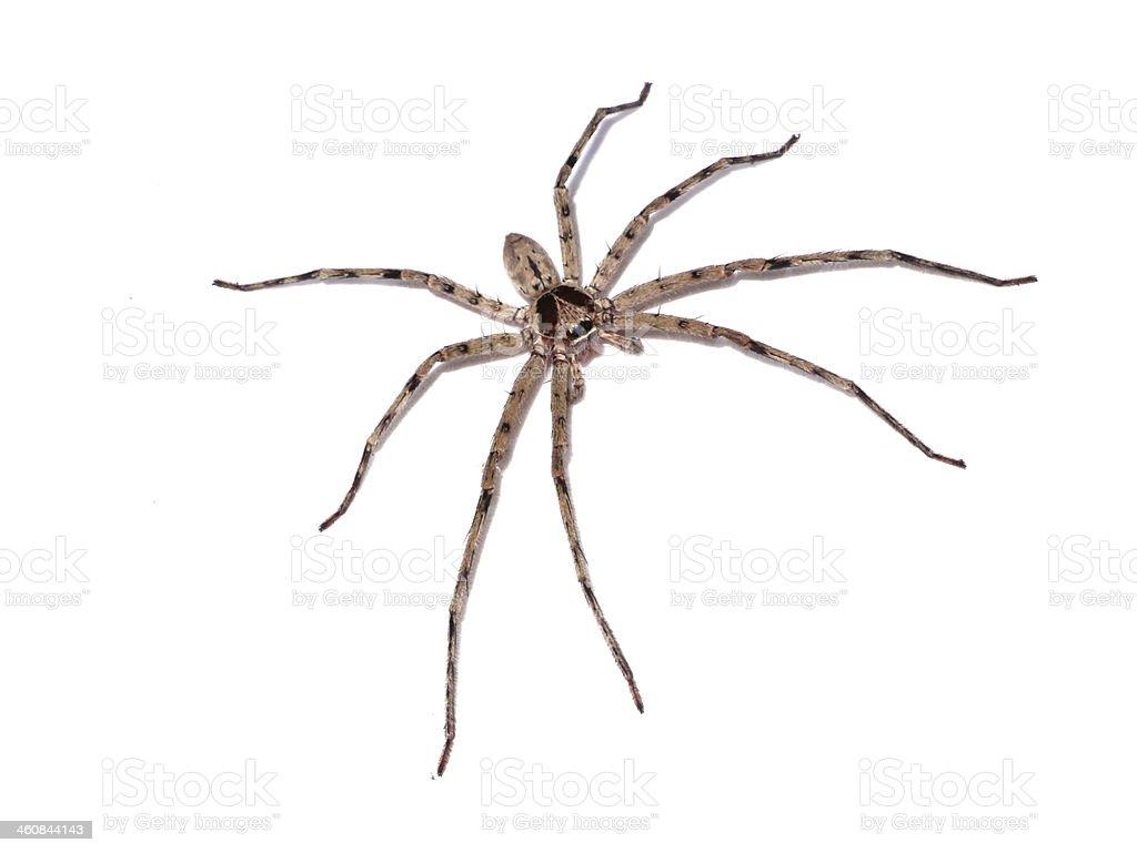 Hairy house spider (Tegenaria domesticus) on white background stock photo