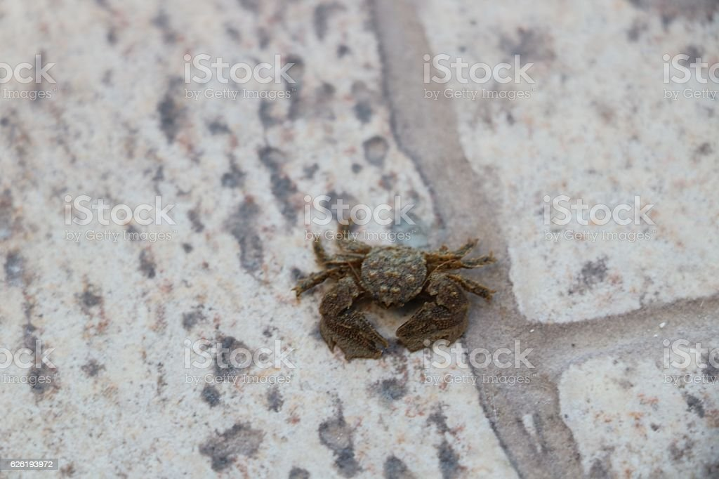 Hairy leg crab stock photo