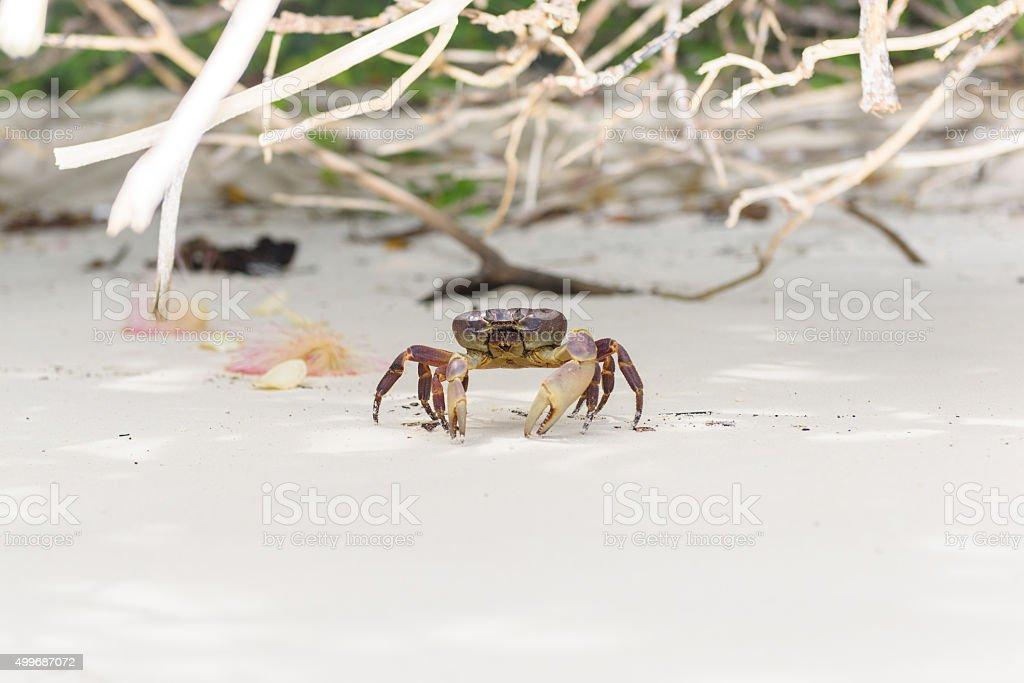 Hairy leg mountain crab stock photo