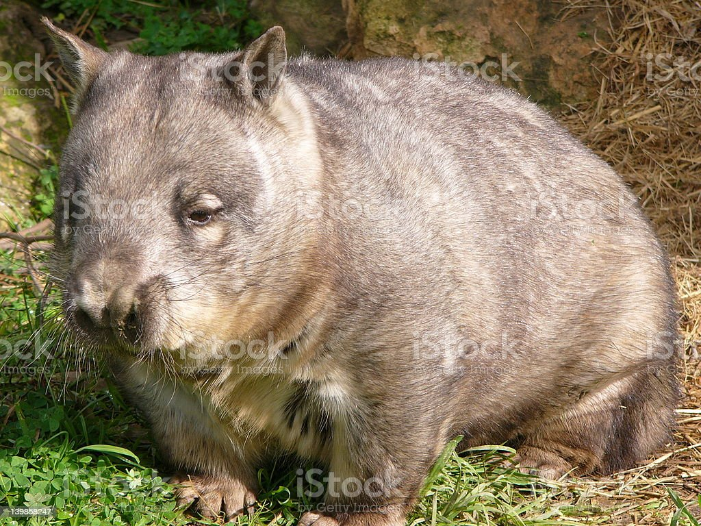 hairy nosed wombat royalty-free stock photo