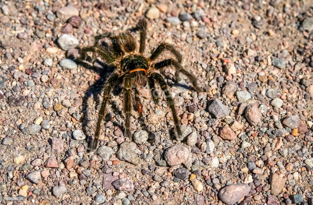 Hairy Patagonian Spider stock photo