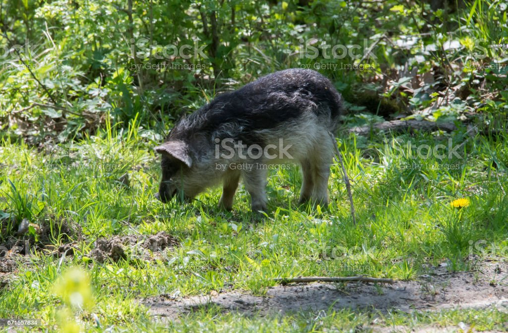 Hairy pig (Mangalitsa) digging the dirt in search of food stock photo