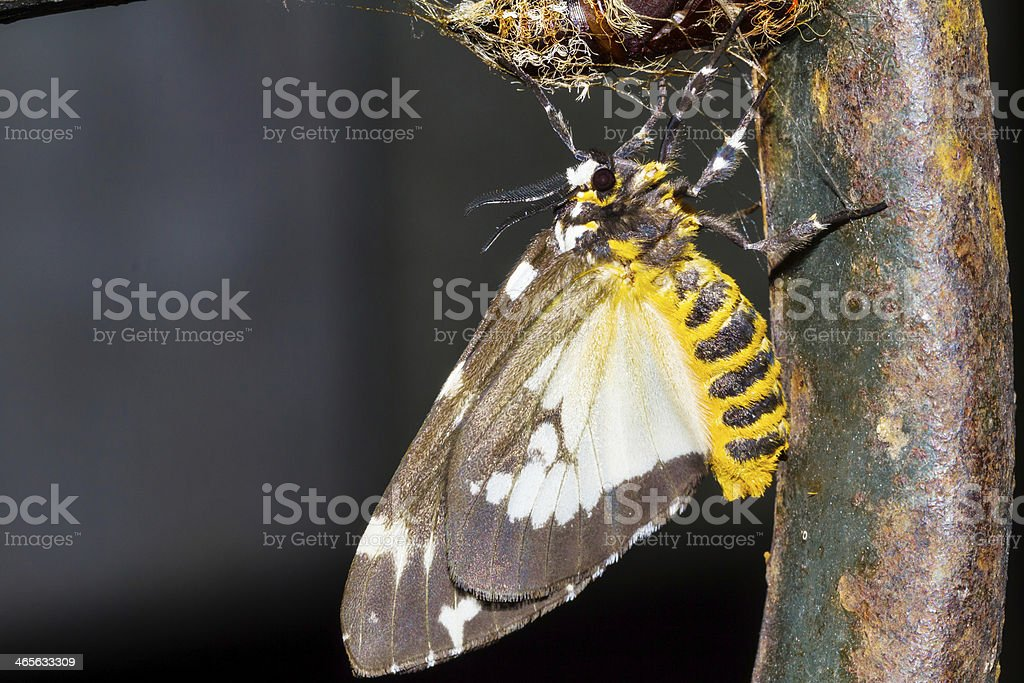 Hairy pupa and baby moth stock photo