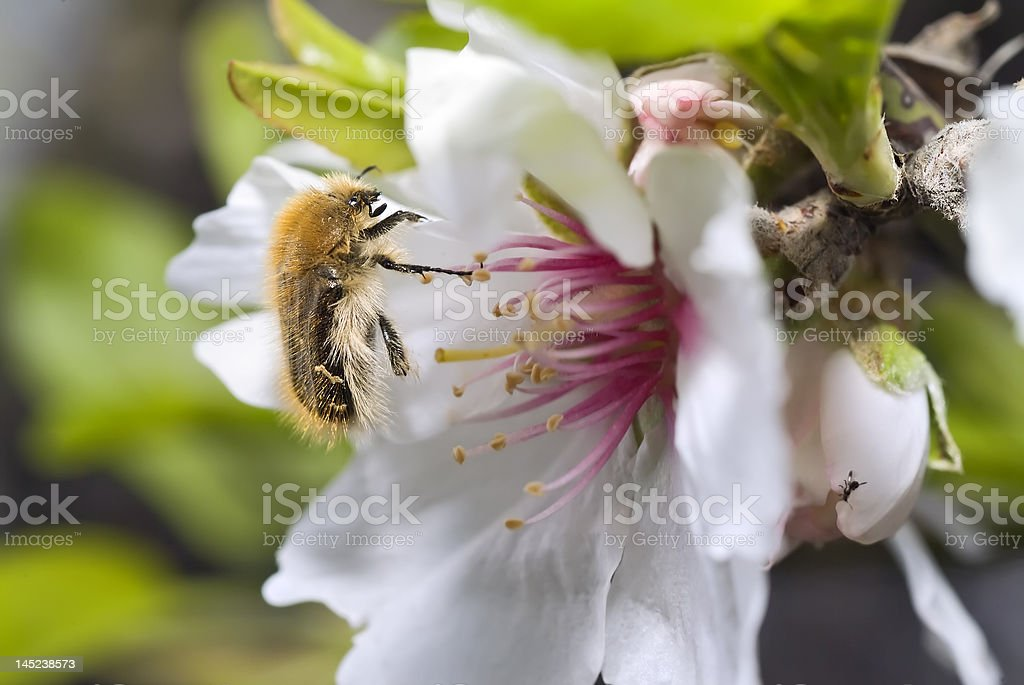 hairy scarab beetle on almond flower royalty-free stock photo