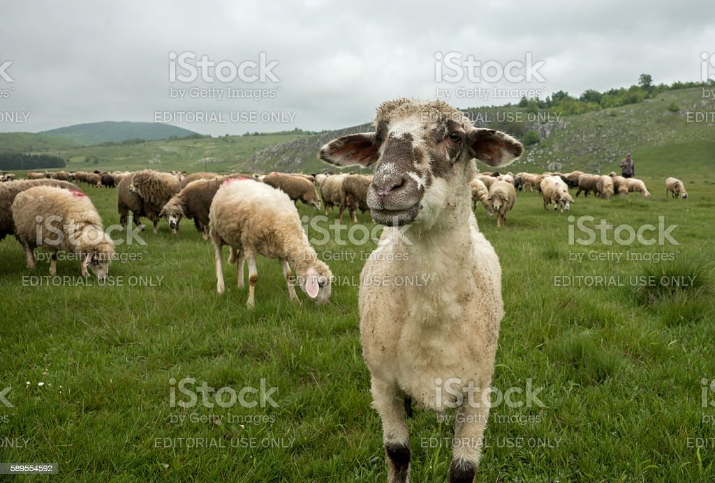 Hairy sheep on a green meadow stock photo