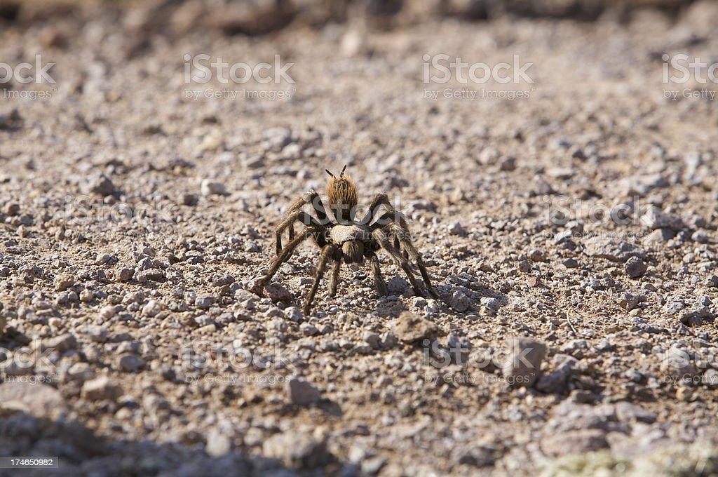 Hairy Tarantula stock photo