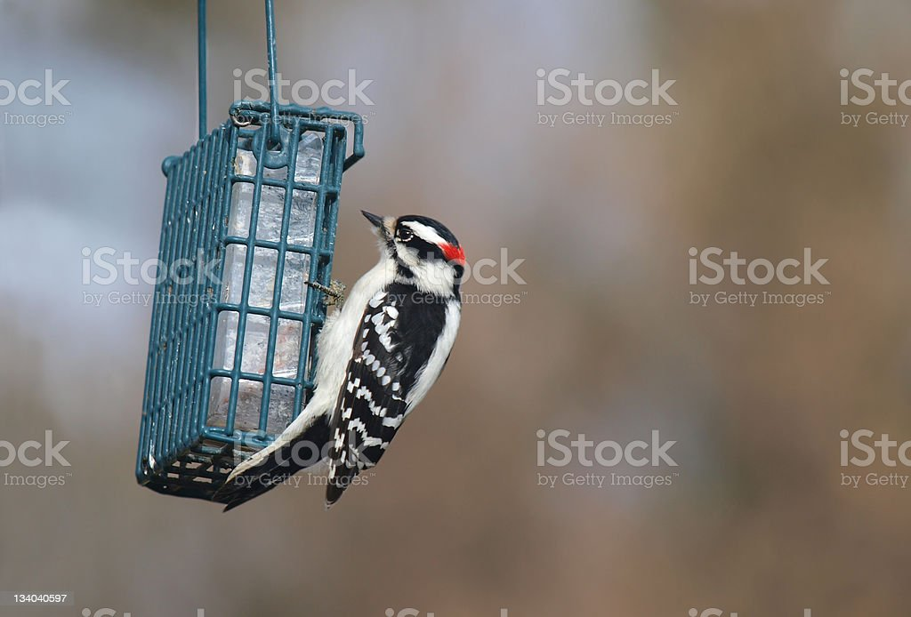 Hairy Wood Pecker stock photo