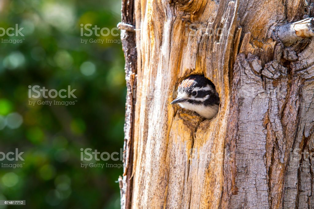Hairy Woodpecker Chick stock photo