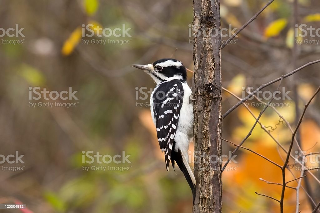 Hairy Woodpecker -  Female stock photo