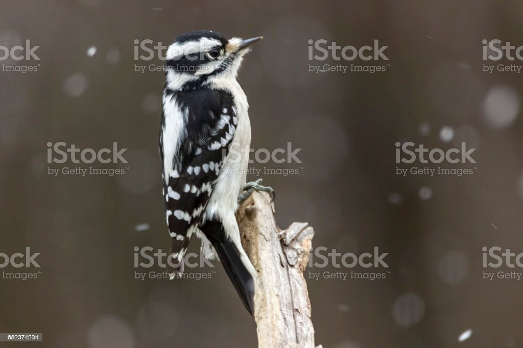 hairy woodpecker in the snow stock photo
