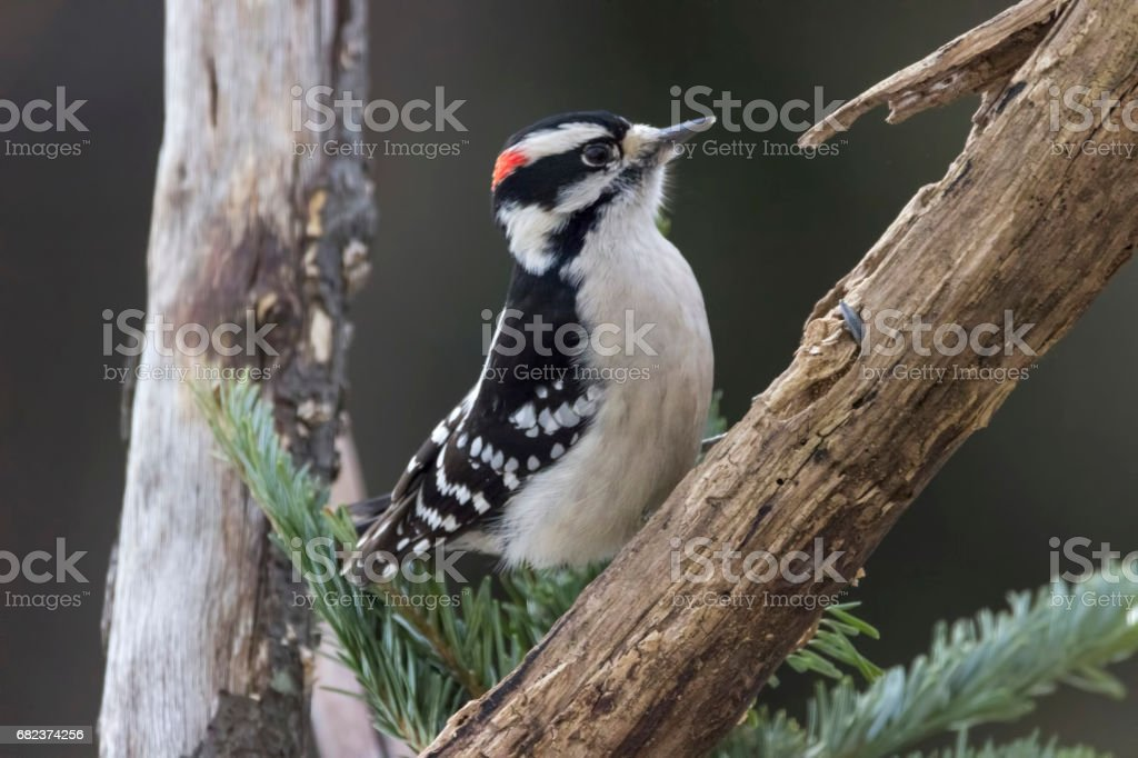 hairy woodpecker on a branch in the snow stock photo