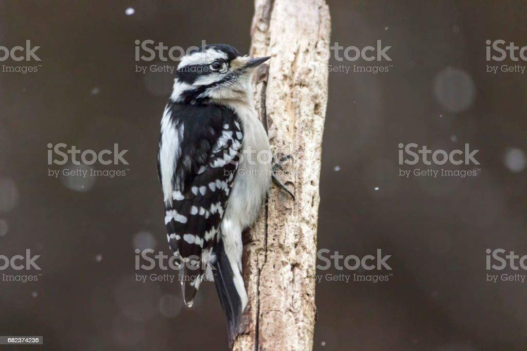 hairy woodpecker on a branch stock photo