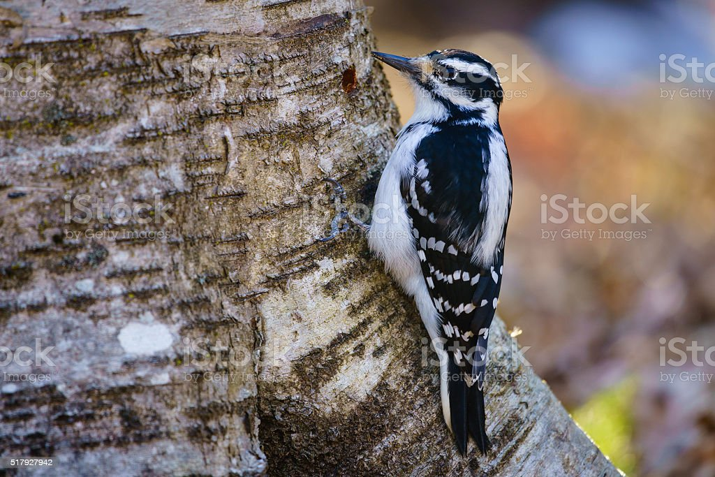 Hairy woodpecker (picoides villosus) on a tree stock photo