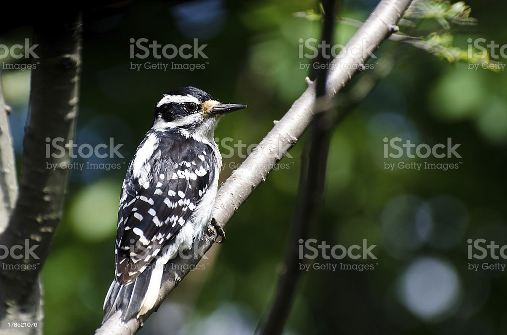 Hairy Woodpecker Perched in a Tree stock photo