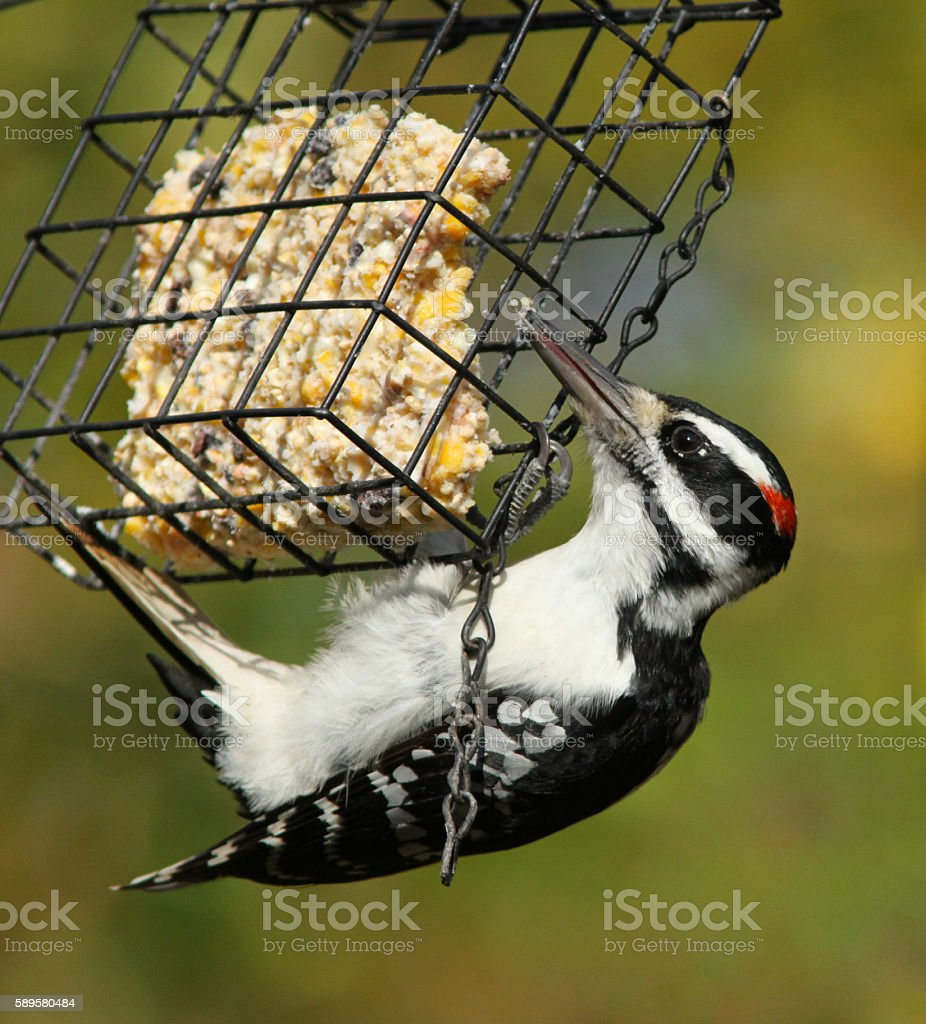hairy woodpecker stock photo
