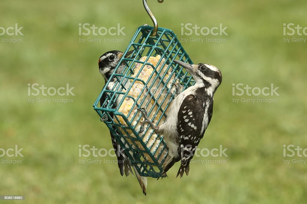 Hairy Woodpeckers (Picoides villosus) stock photo