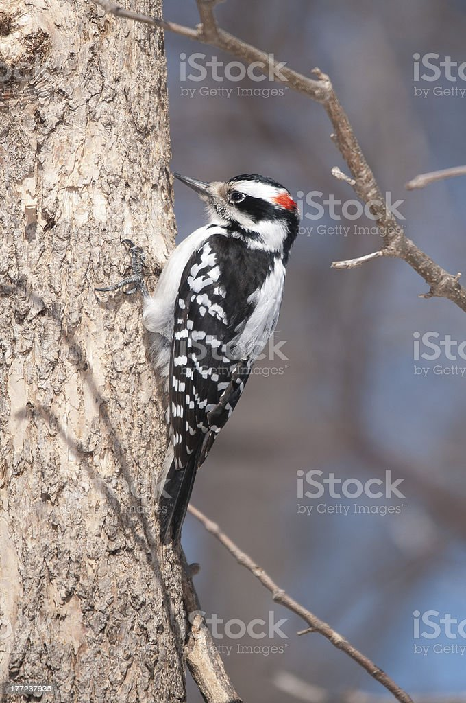 Hairy Woopecker stock photo