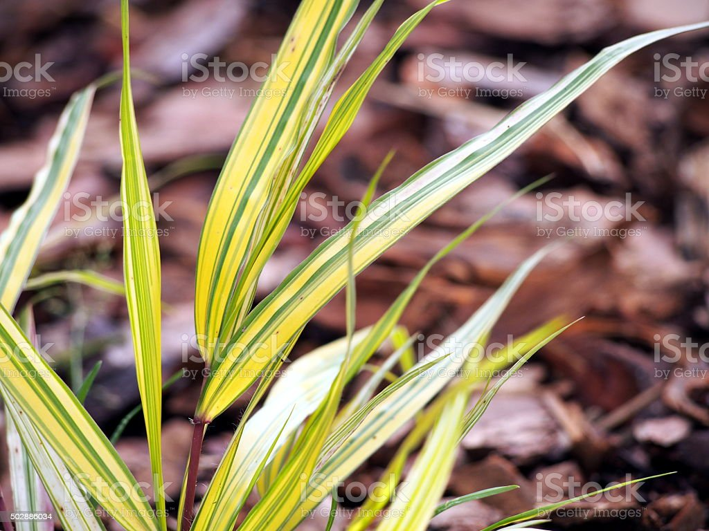 Hakonechloa macra 'Aureola' - golden japanese forest grass stock photo