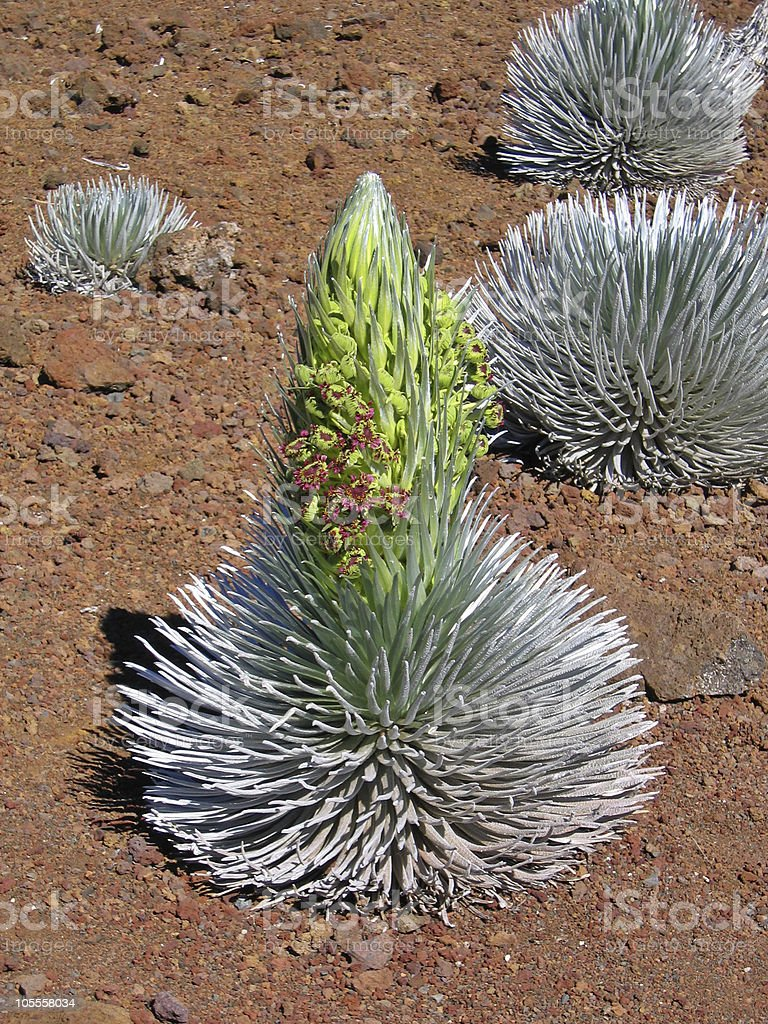 Haleakala Silversword royalty-free stock photo